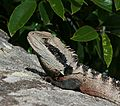 Eastern Water Dragon Clontarf
