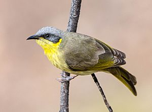 Grey-headed honeyeater (Jss367-crop).jpg