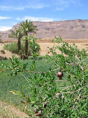 Pomegranate In Draa River Valley Morocco