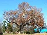 Salem Oak Tree - Salem, NJ - November 2012