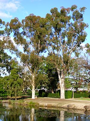 Two Sugar Gums growing next to the Wollundry Lagoon in the Victory Memorial Gardens