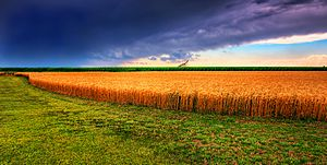 Kansas Summer Wheat and Storm Panorama