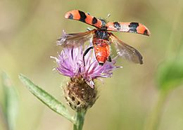 Soldier Beetle Trichodes alvearius taking off from Knapweed