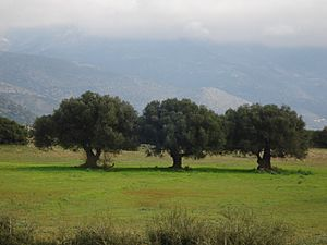 Three Solitary Olive Trees closeup