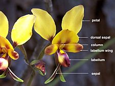 Diuris (labelled)