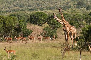 Impalas and Giraffes Benh