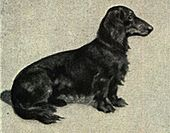Long-haired Dachshund Portrait.jpg
