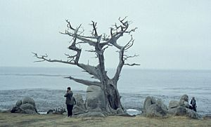 6209-PebbleBeachWitchTree