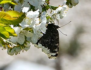 Mourning cloak nectaring on cherry blossoms 1 - cropped