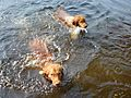2 Tollers in the water