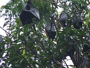Fruit bats, Cairns