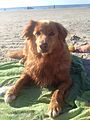 Nova Scotia Duck Tolling Retriever's love swimming and will help there joints (16 years old)