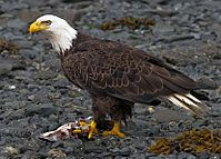 2010-bald-eagle-kodiak
