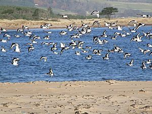 Oystercatchers at the mouth of Loch Fleet - geograph.org.uk - 589180