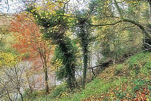 Woodland above the Trent at King's Mills - geograph.org.uk - 1050604.jpg