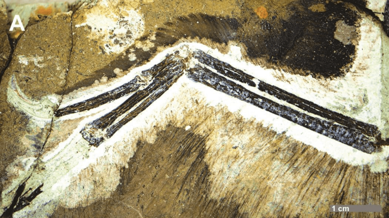 Anchiornis huxleyi wing fossil STM 0 144