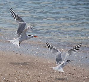 Core Banks - Royal Tern & Cabot's Tern - 03