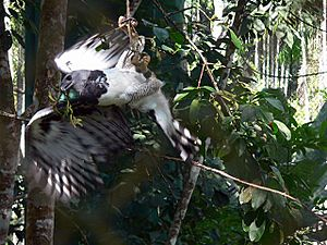 Harpy-eagle-action