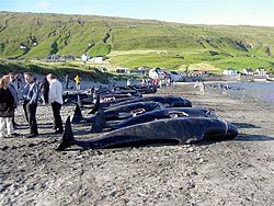 Killed pilot wales in hvalba, faroe islands