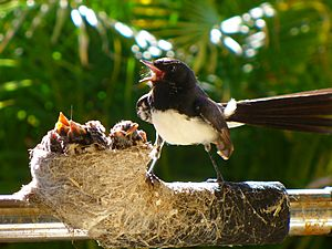 Willy Wagtail nest