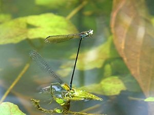 Pseudagrion indicum ovipositing at Kadavoor