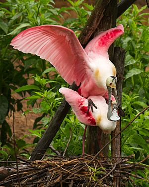 Roseate spoonbills at Smith Oaks Sanctuary, High Island, mating