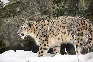 Snow Leopard Walking in the Snow (12033065055)