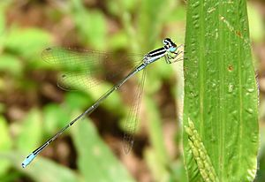 Aciagrion occidentale 2 at Kadavoor.jpg