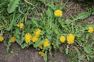 Common dandelion Taraxacum officinale flowers