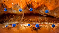 Scallop eyes2