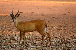 Young male Barking Deer