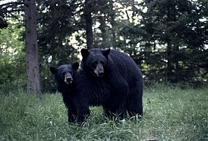 Black Bears mating