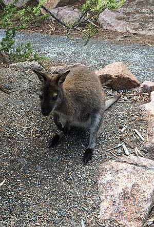 Bennetts Wallaby Freycinet