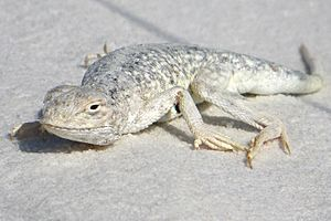 Bleached earless lizard, White Sands National Park, New Mexico, United States