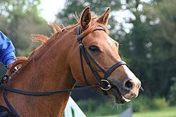 Hunt bridle head
