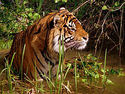 Panthera tiger in a marshy area in captivity