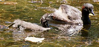 Australasian Grebe with Juvenile