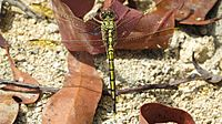 Dragonfly yellow black dorsal closer (15502645773)