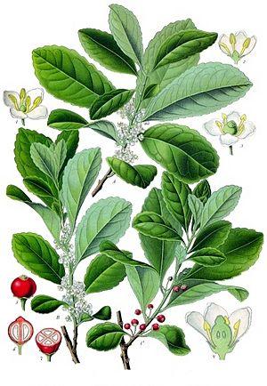 Holly Facts For Kids