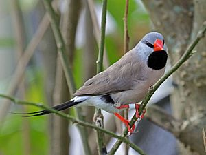 Long-tailed Finch RWD1
