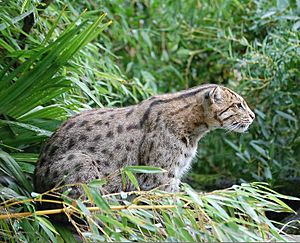 Fishing Cat Pessac zoo