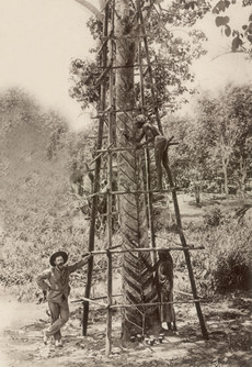KITLV - 79940 - Kleingrothe, C.J. - Medan - Tapping of a 23-year-old rubber tree on a plantation in Malaysia - circa 1910