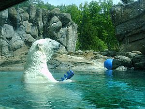 Polar bear Environmental enrichment
