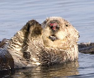 Sea otter with injured nose