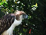 Sir Arny(Philippine Eagle).jpg