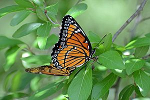 Flickr - ggallice - Viceroy mating pair