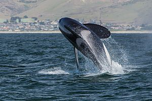 Orca, Killer Whale, breaching - Morro Bay, CA May 8, 2014 Orcinus orca