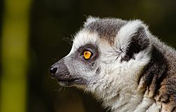 Ring-tailed lemur profile