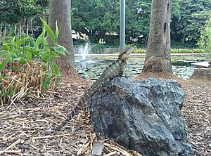 Basking Australian water dragon in City Botanic Gardens Brisbane Australia