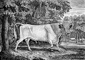 Chillingham Bull by Thomas Bewick 1789